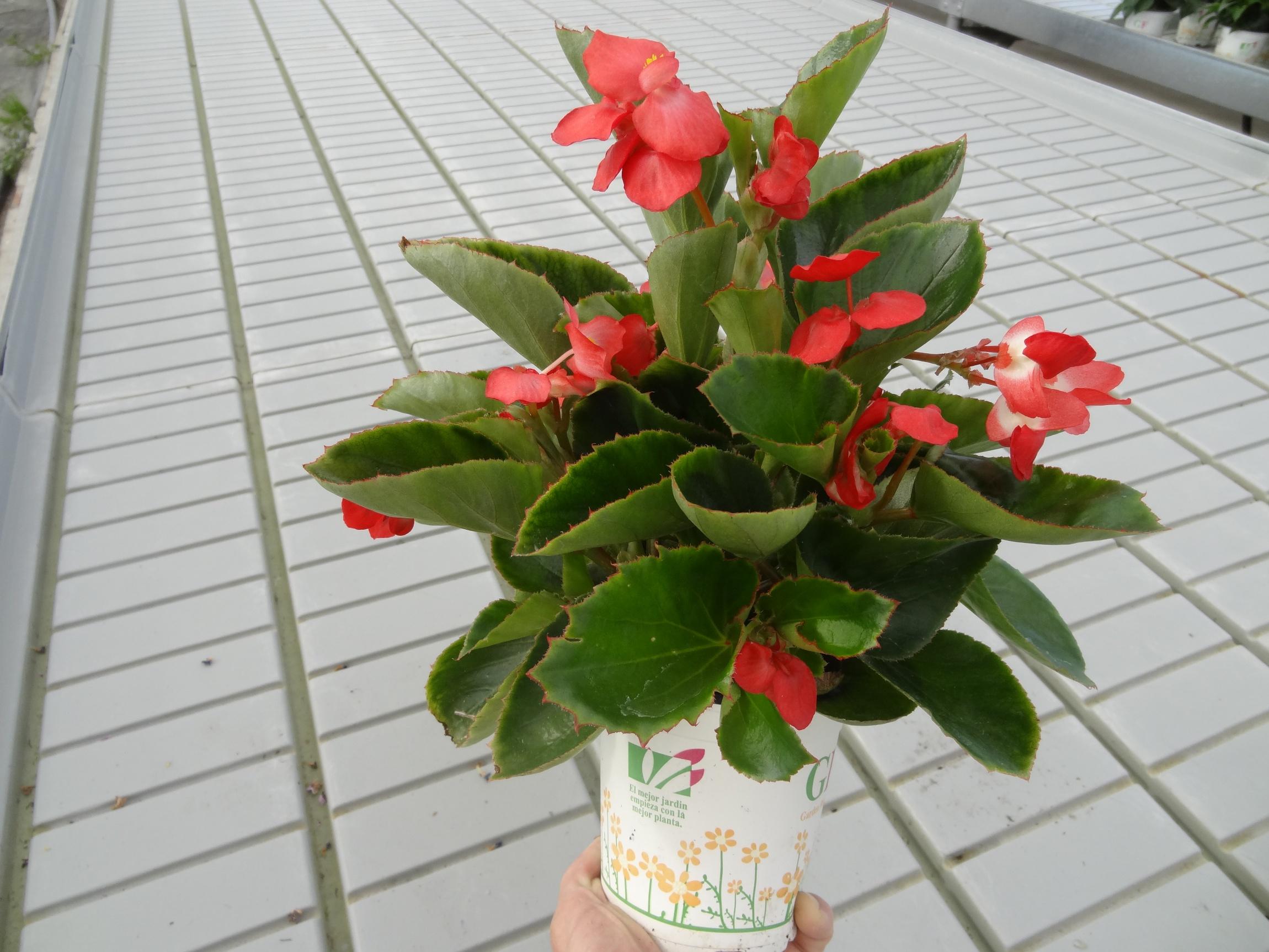 Begonia_Dragon