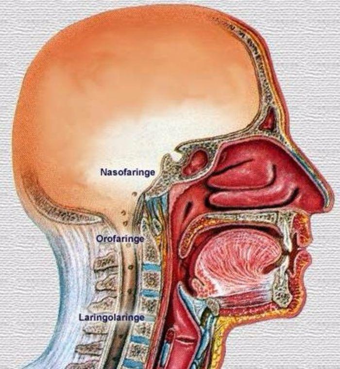 Lujoso Anatomía Y Fisiología De La Deglución Imágenes - Imágenes de ...