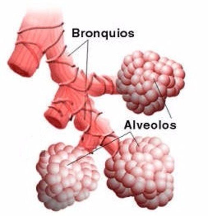 Bonito Bronquios Y Los Alvéolos Inspiración - Anatomía de Las ...